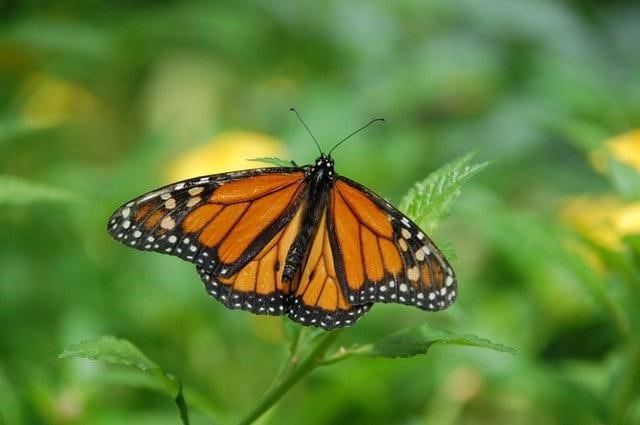 Monarch butterfly in grove at Pismo Beach
